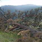 Devrilmiş ağaç