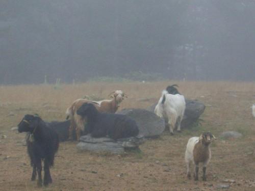 DASK 2009- Koyunlar